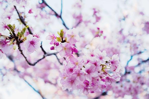桜、和むわぁ~。