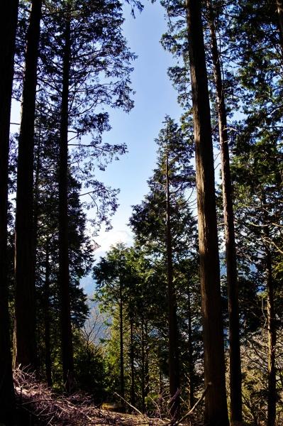 杉林の山道をハイキング