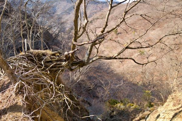 崖からにょきにょき映える木。崩れ落ちそう。