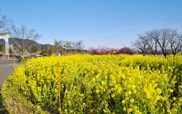 菜の花と桜が美しい大倉バス停。
