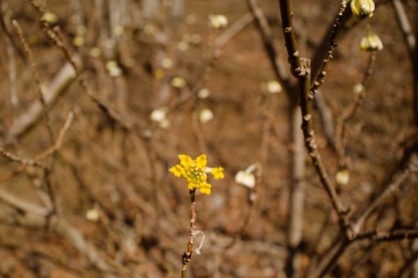 黄色いミツマタの花。