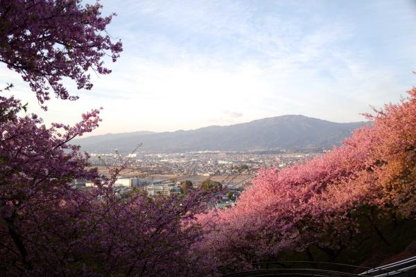 桜の構図が美しい西平畑公園からの景色。
