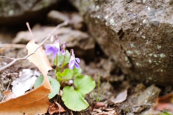 足元にちょこちょこ咲いているスミレ。