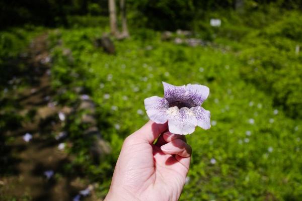 キリの花がたくさん落ちていた。