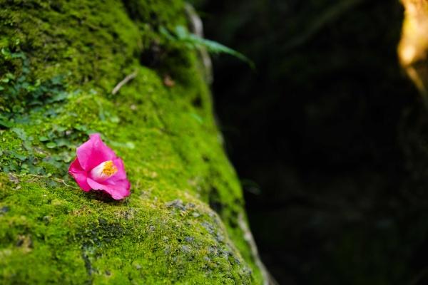 ピンクの椿が添えられている。誰かが置いたのかな?