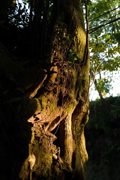 入口にある大木。
