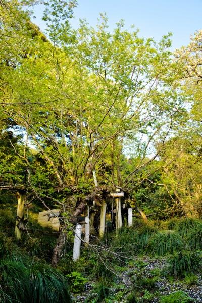 樹高が高い大きな桜です。