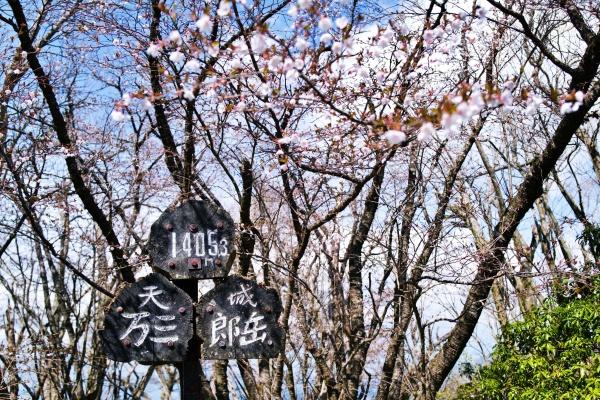 万三郎岳は桜が咲いて良い感じ(^_^)