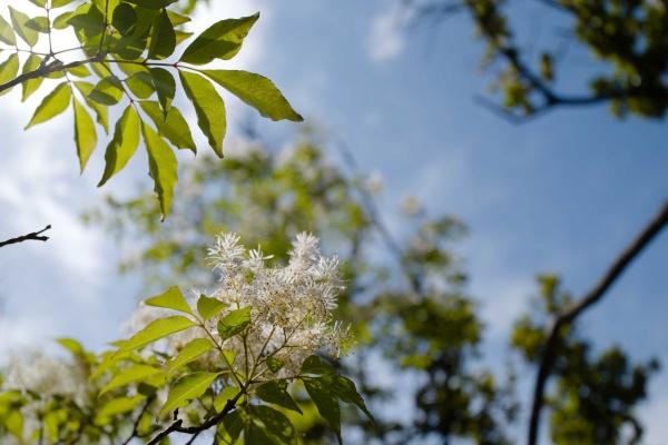 たぶんアオダモ?の花。