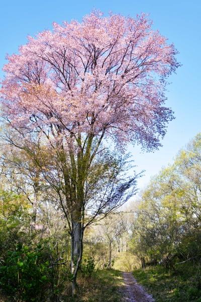 すくすく伸びる桜。