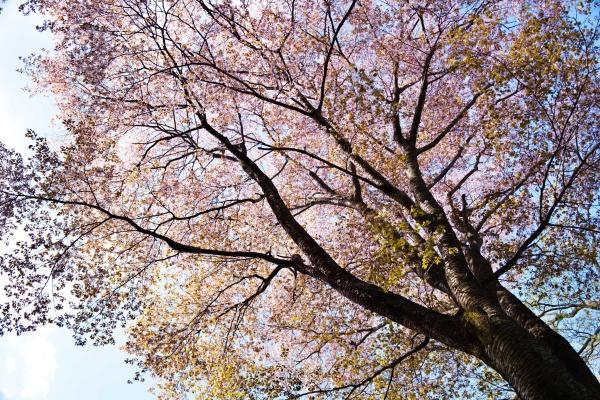 山桜も伸び伸び。