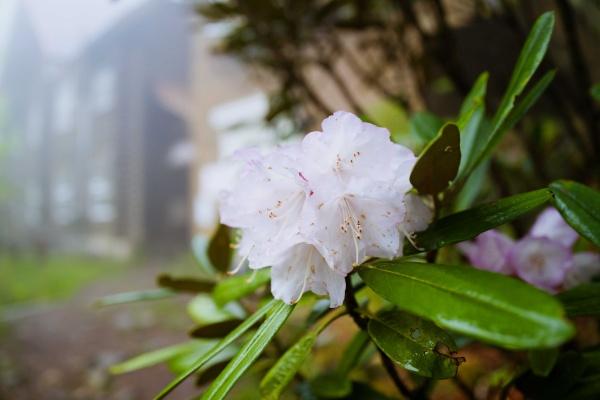 淡いシャクナゲも咲いていた。