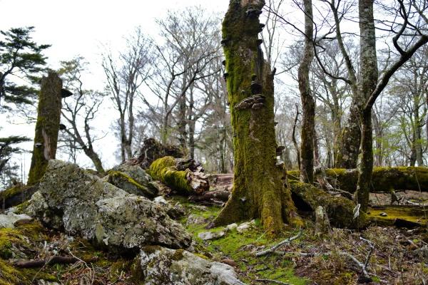 苔生した倒木を横断。