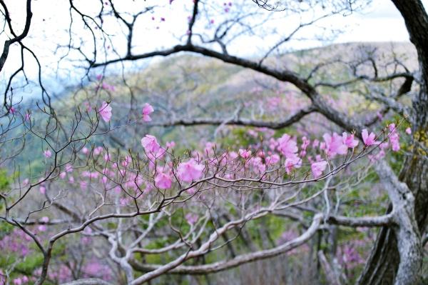 ふんわりとしたピンクの花々。