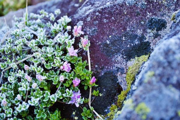 岩の陰にミヤマキリシマ(?)が凍っていた。