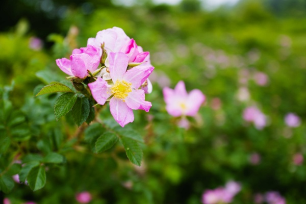 ピンクのハマナス。