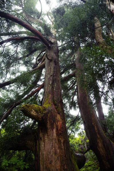立派な木!