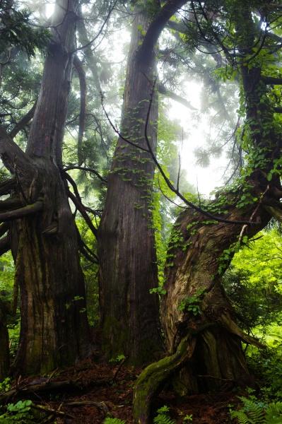 佐渡っぽい樹木がデンと立つ