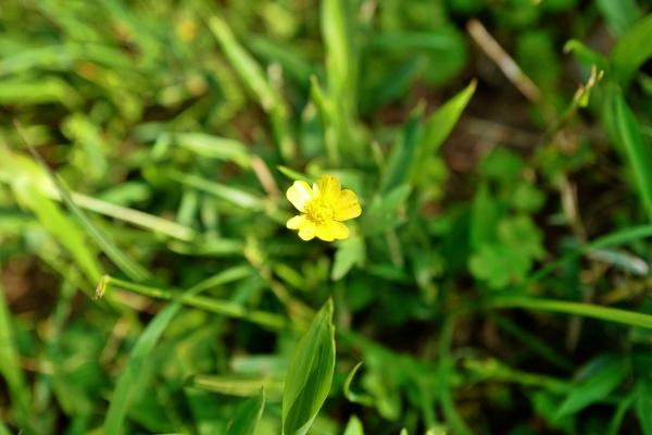 きらりと光るキンポウゲ(金鳳花)