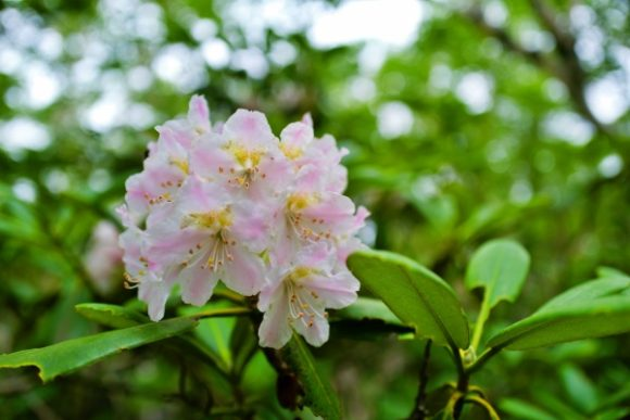 シャクナゲが沢山咲いて見頃だった。