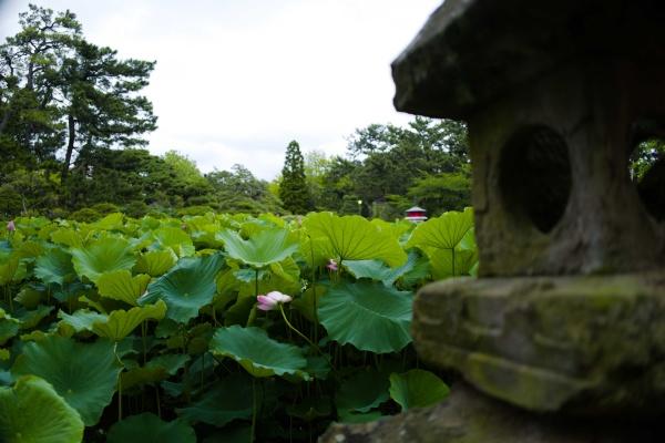 池が見えないくらいハスがたくさん。