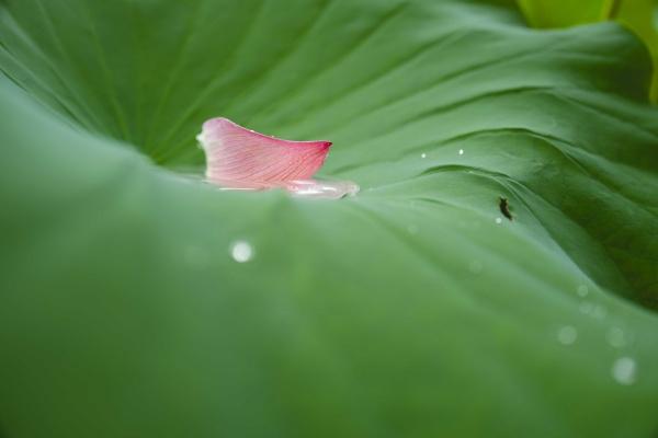 泥で汚れないきれいなハスの葉。