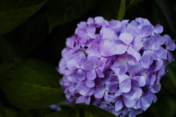 しっとり美しい紫陽花。