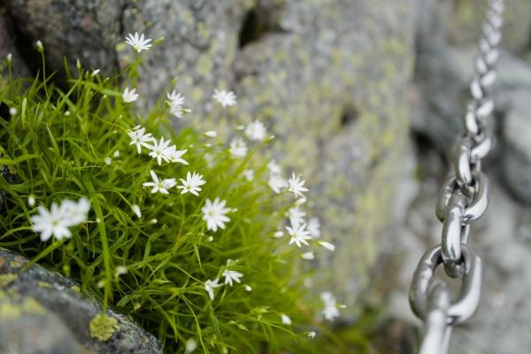 岩の隙間で開花。槍ヶ岳の意外な一面。