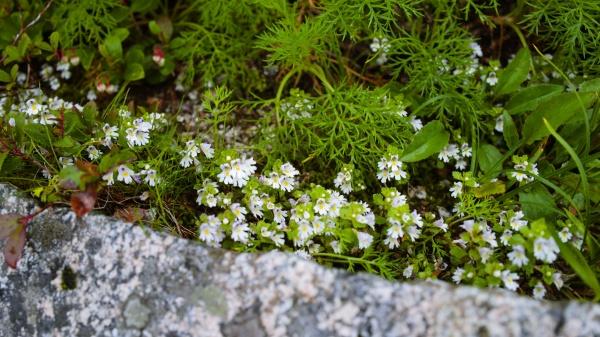 足元に小さな白い花