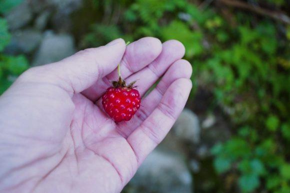 酸っぱい木苺がなっていた。