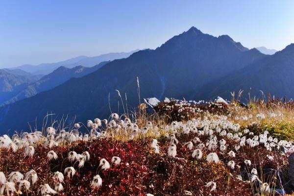 剣岳を背景にチングルマ!